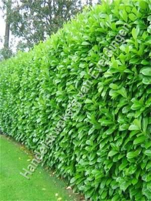 Prunus Rotundifolia, laurier haag