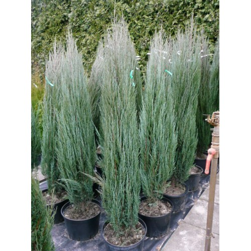 Juniperus bleu arrow